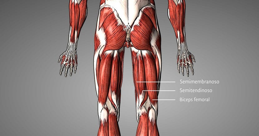 ubicacion del biceps femoral