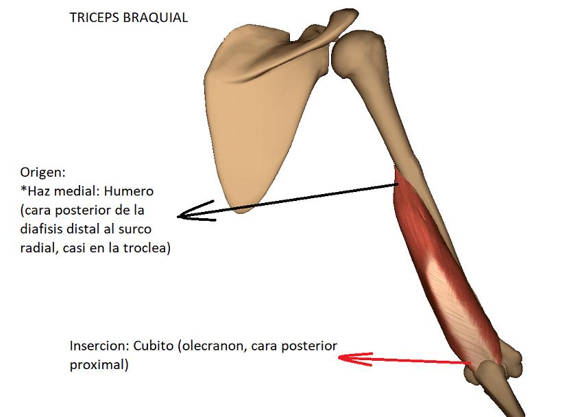 anatomia del triceps