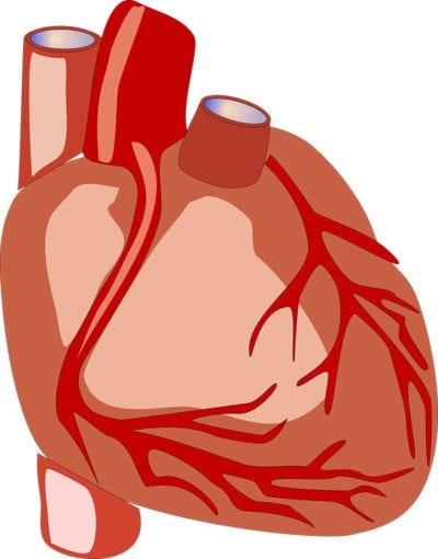 Órgano corazón