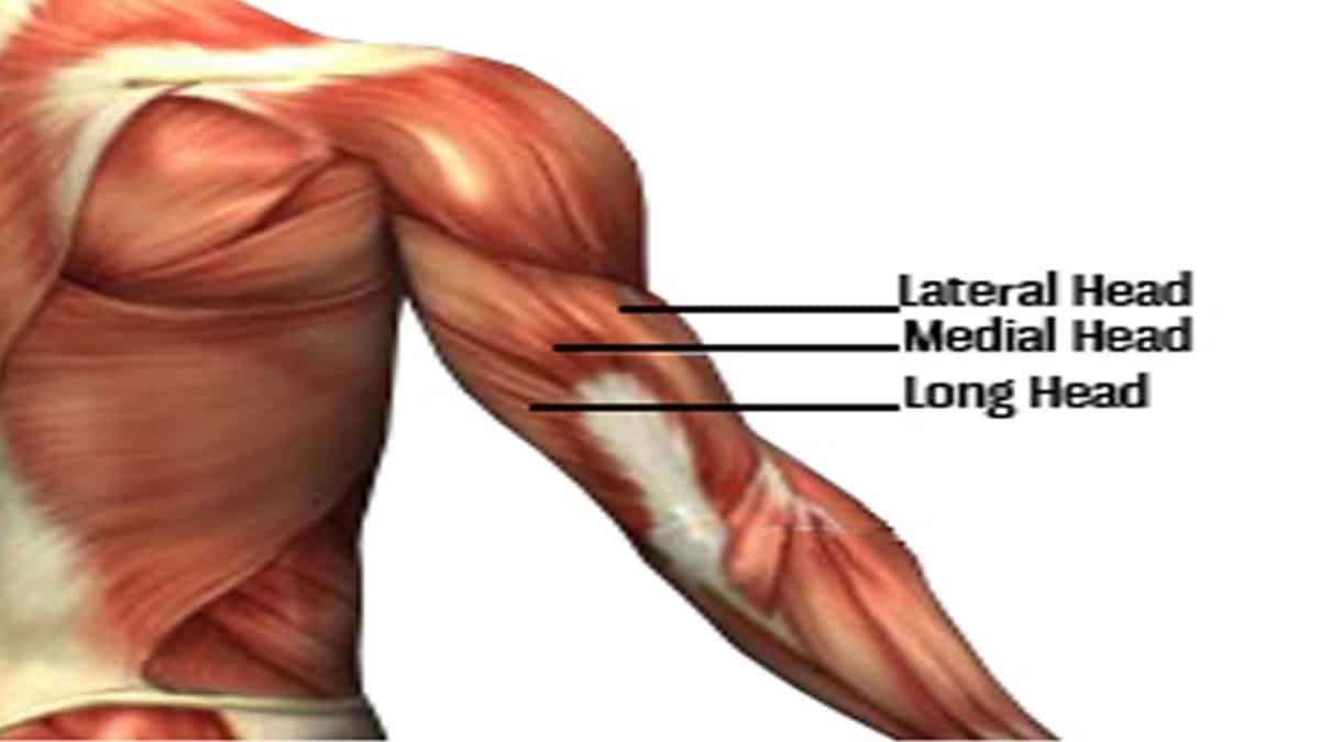 cabezas del triceps