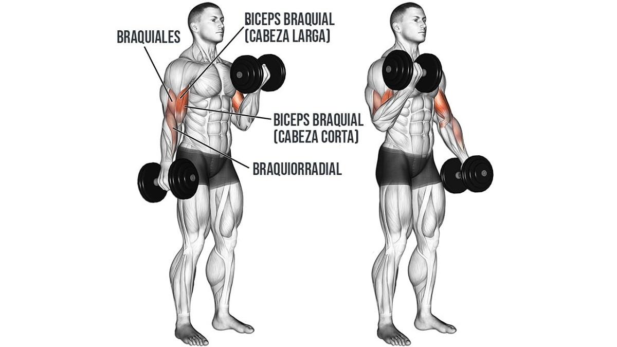 musculos del biceps